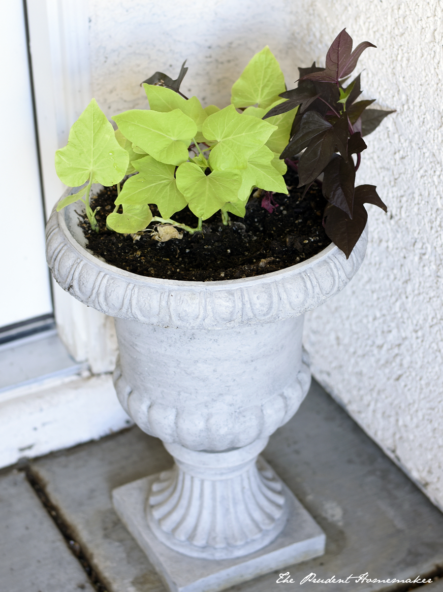 Sweet Potato Vine The Prudent Homemaker