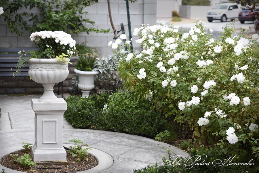 White Garden Roses The Prudent Homemaker