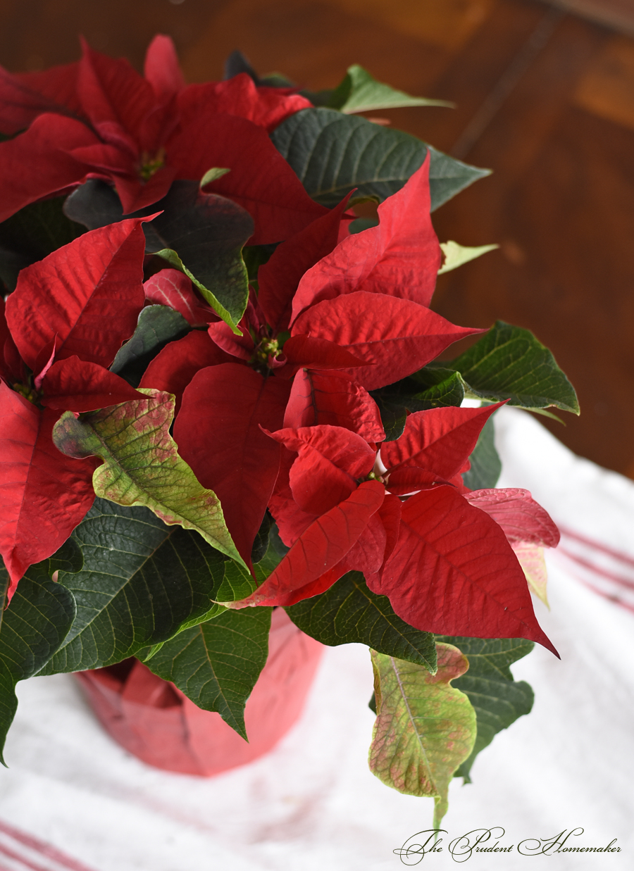 Poinsettia The Prudent Homemaker