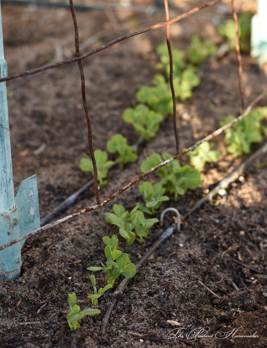 Pea Seedlings The Prudent Homemaker