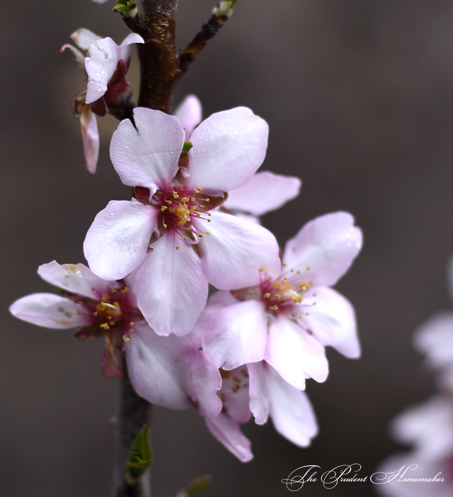Almond Blossoms The Prudent Homemaker