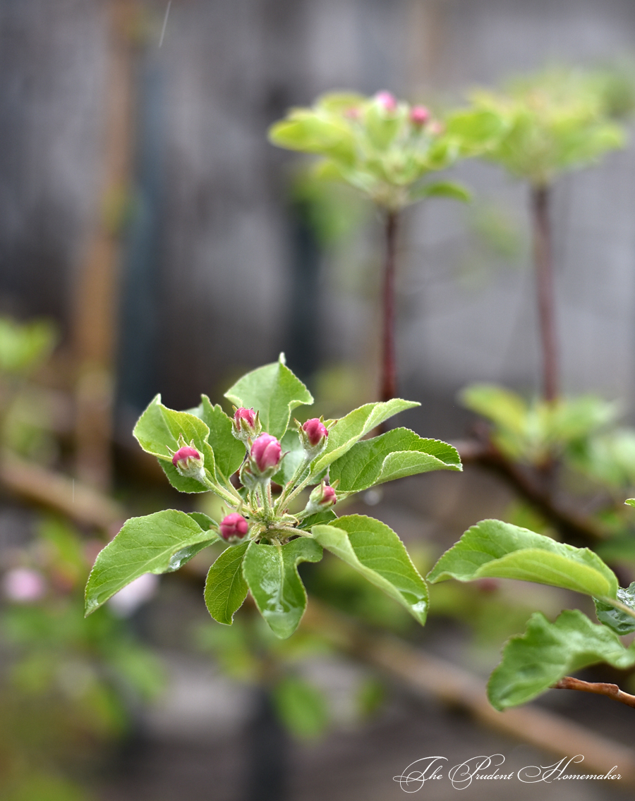 Apple Blossoms Buds The Prudent Homemaker