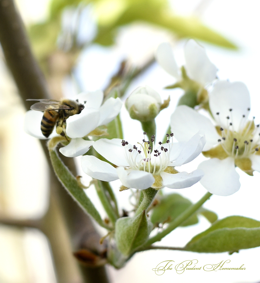 March Bee on Pear Blossoms The Prudent Homemaker