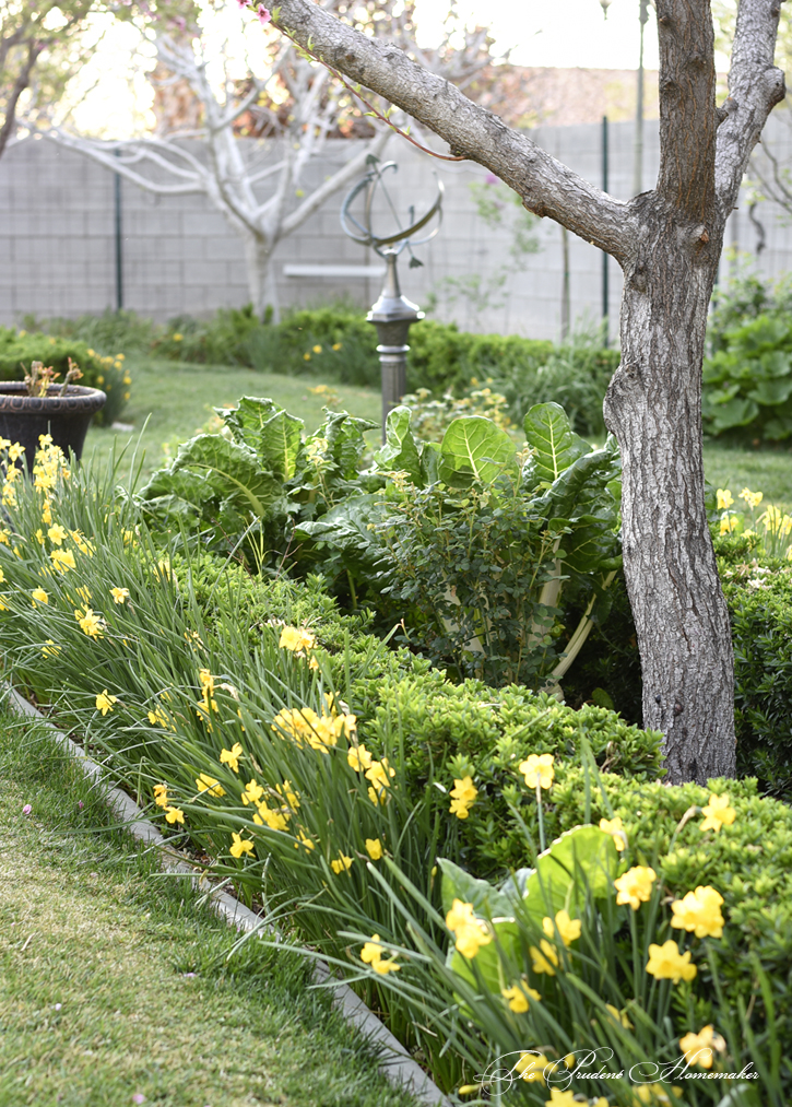 March Daffodils in the Garden The Prudent Homemaker