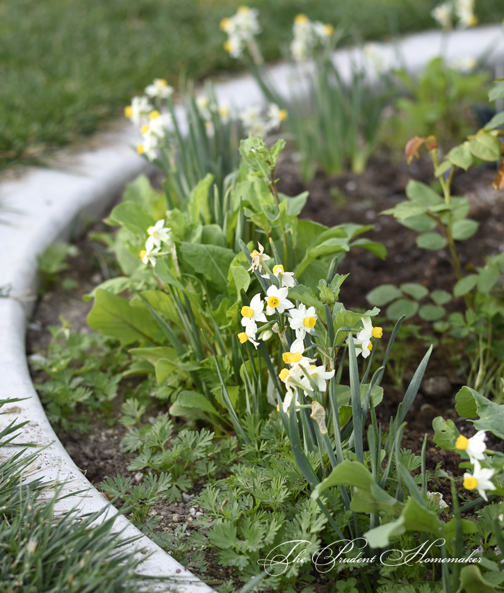 March Miniature Daffodils The Prudent Homemaker
