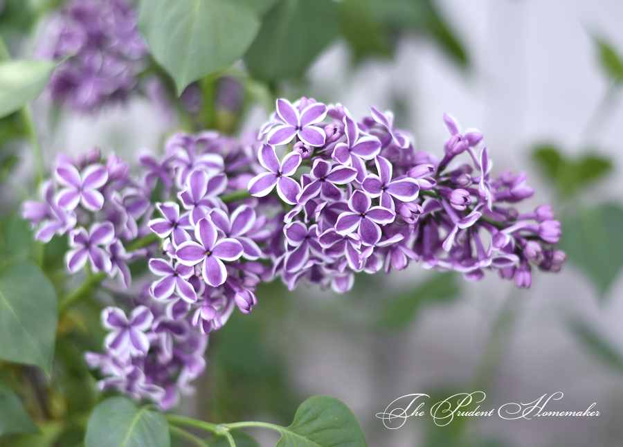 March Sensation Lilac The Prudent Homemaker