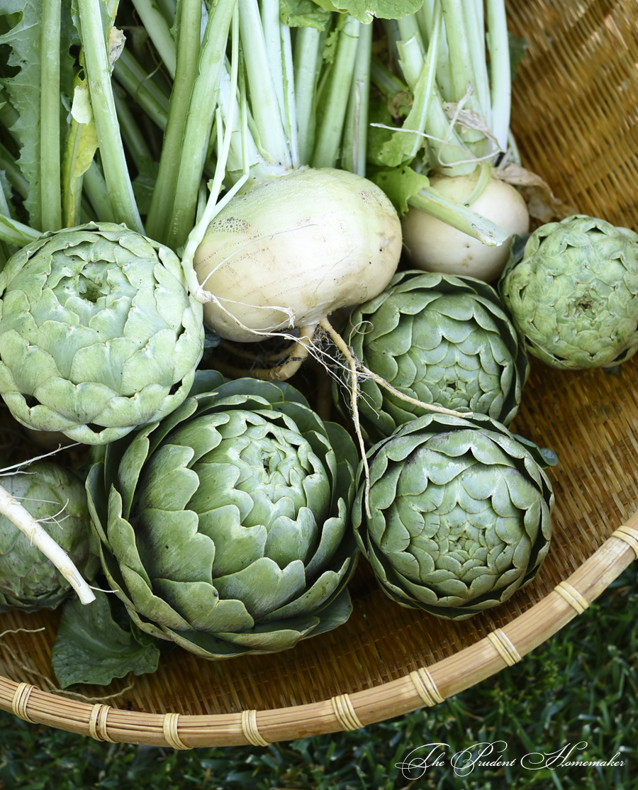 Artichokes and turnips The Prudent Homemaker