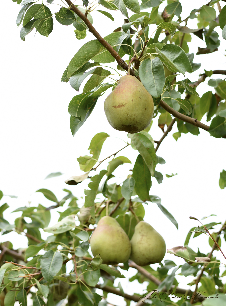 Bartlett Pears on Tree The Prudent Homemaker