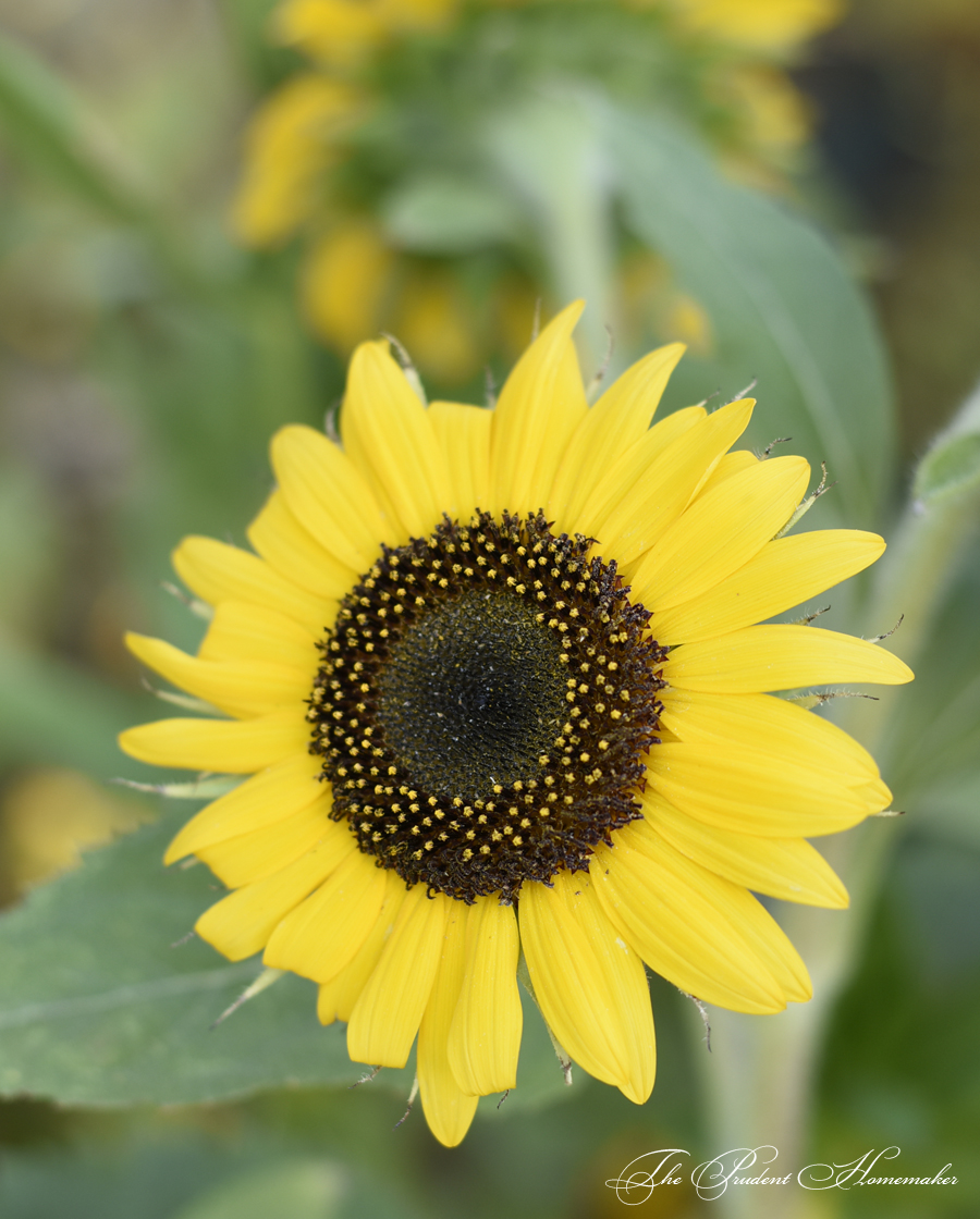 Sunflower The Prudent Homemaker
