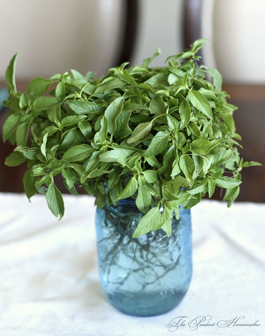 Thai Basil Seedlings The Prudent Homemaker