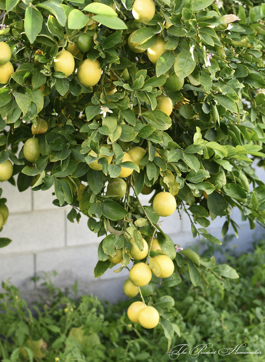 Lemon Tree The Prudent Homemaker