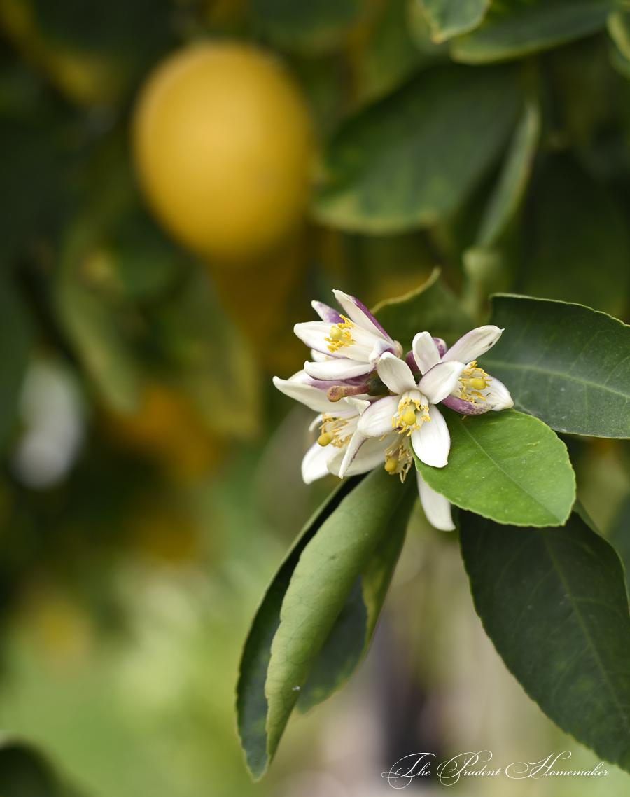 Meyer Lemon Blossoms in the Garden The Prudent Homemaker