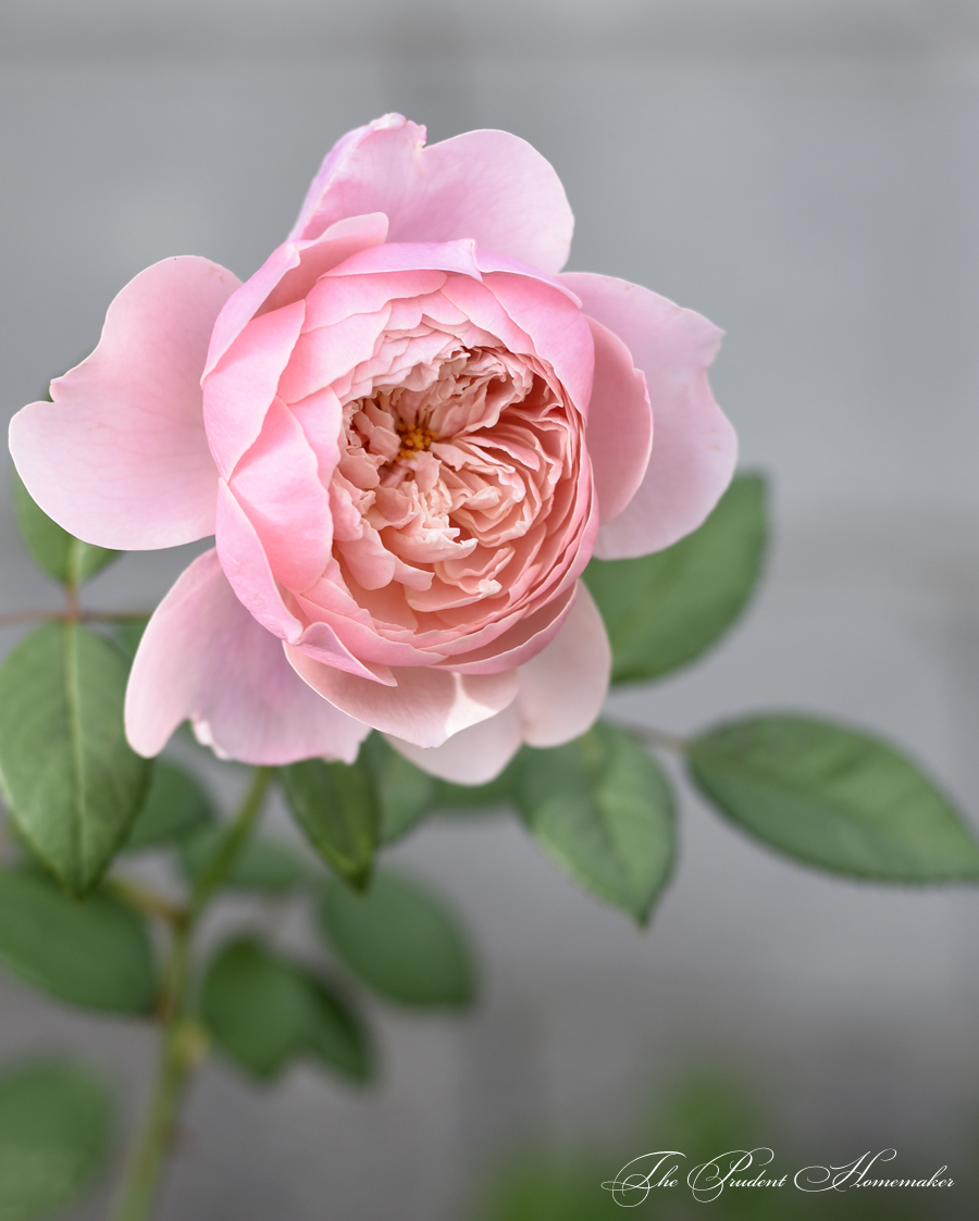 The Alnwick Rose The Prudent Homemaker