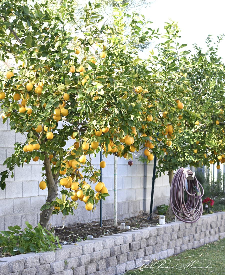 Meyer Lemon Trees The Prudent Homemaker