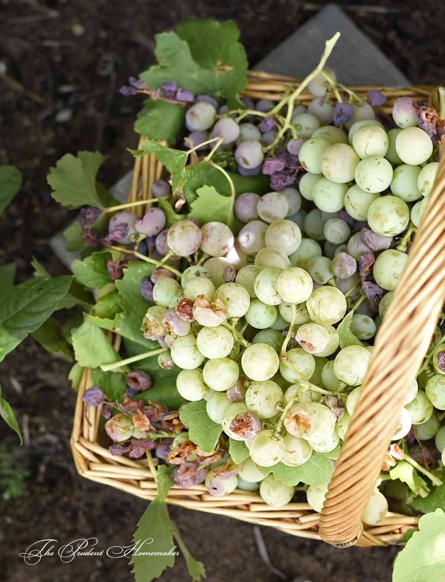 Grapes in Basket The Prudent Homemaker