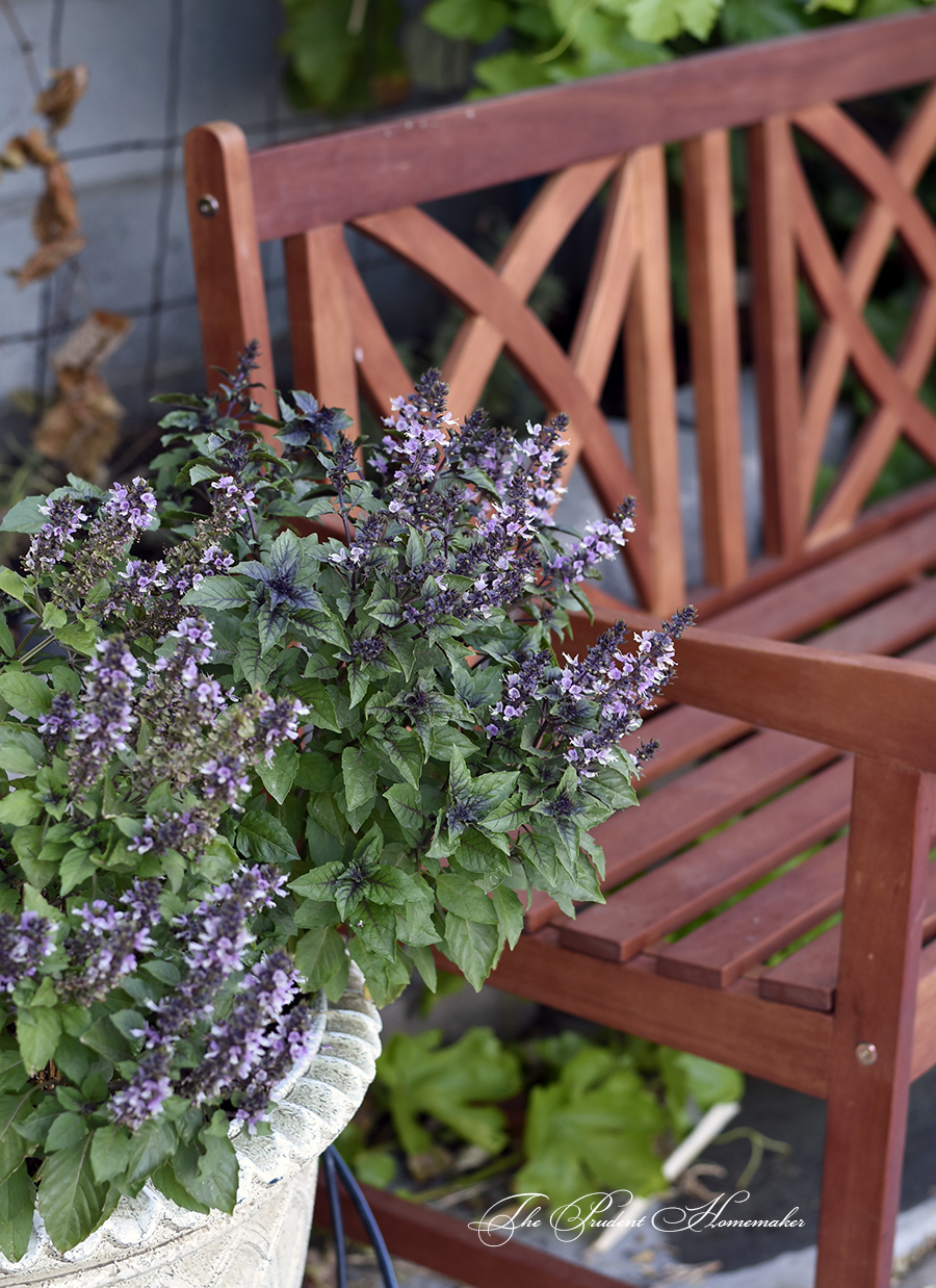 Siam Basil in pot with bench The Prudent Homemaker