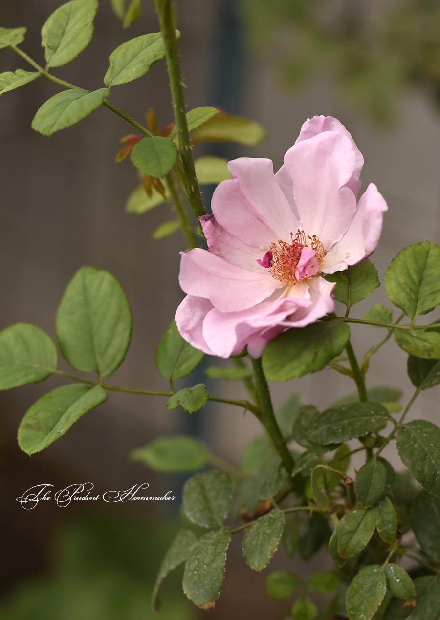Rose Petals The Prudent Homemaker