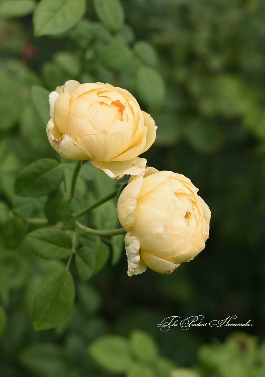 Yellow Roses The Prudent Homemaker